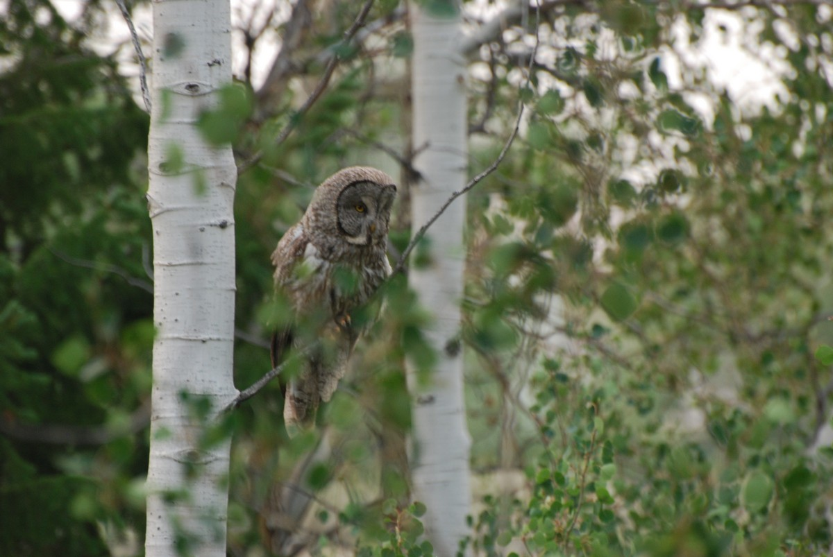 Great Gray in the aspens