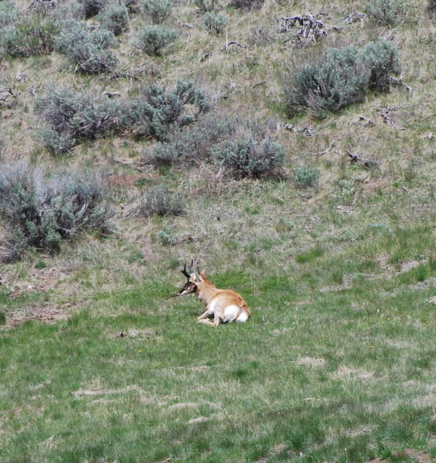 Lost Pronghorn